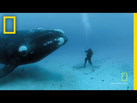 Close - Brian Skerry describes the exhilaration of an up-close encounter with a curious, 45-foot-long right whale.