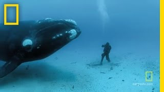 Video Close Encounters of the Giant Kind | National Geographic MP3, 3GP, MP4, WEBM, AVI, FLV Mei 2018