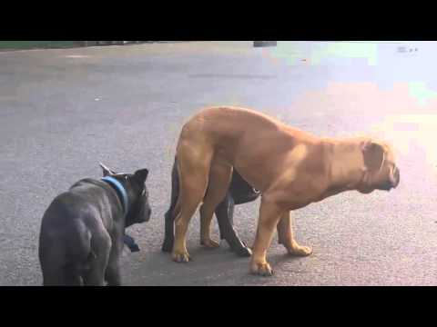 Animals Mating - Top 10 Dog Mating & Funny Dog | Funny Animal Compilation 2015