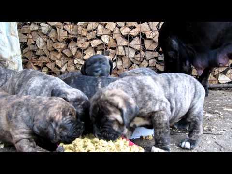 perro de presa canario
