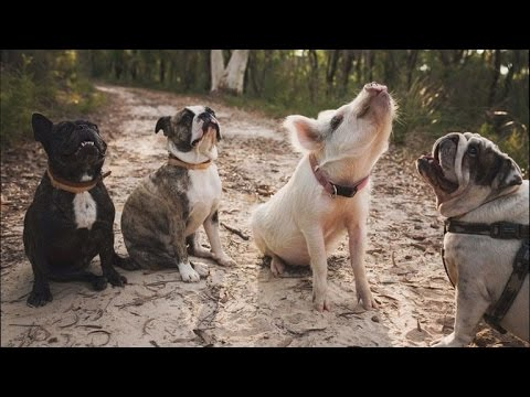 Adorable Pig Acts Like Her Dog Siblings