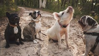 Video Adorable House Pig Acts Just Like Her Dog Siblings MP3, 3GP, MP4, WEBM, AVI, FLV Agustus 2018
