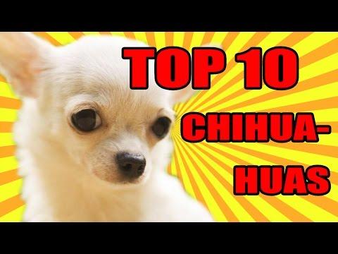 teneri cuccioli di chihuahua - top 10