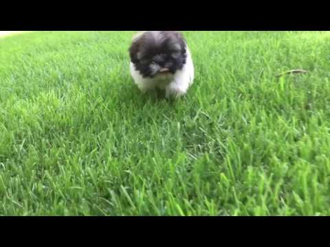 Teddy, is a very intelligent, laid back tiny Imperial Shih Tzu. Current weight is 3 lbs