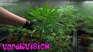 OG LAB - Prep Training our Hawaiian Cannabis Strains for Testing - Week 5 by VaderVision
