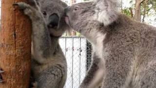 El koala, ese simpático animal