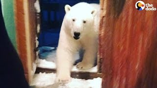 Polar Bears Have Invaded Russian Town   The Dodo by The Dodo