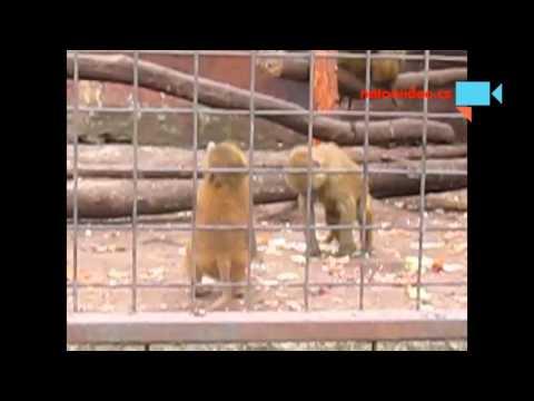 Pavián babuín v zoo Dvorec u Borovan 16.4.2016