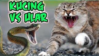 Download Video Kucing Paling Galak! Gak ada takutnya Lucu Banget! Kucing Berantem MP3 3GP MP4
