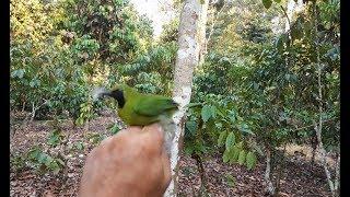 Download Video Pikat burung Cucak ijo menggunakan mp3 jitu sue channel MP3 3GP MP4