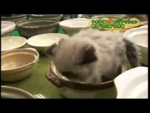 貓咪找適合自己的鍋蓋來休息