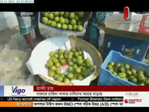 Malta cultivation: Chuadanga farmers prefer Malta as crops (23-11-2017)
