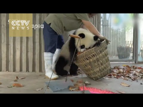 Watch: Giant pandas create trouble as staff cleans their house (видео)