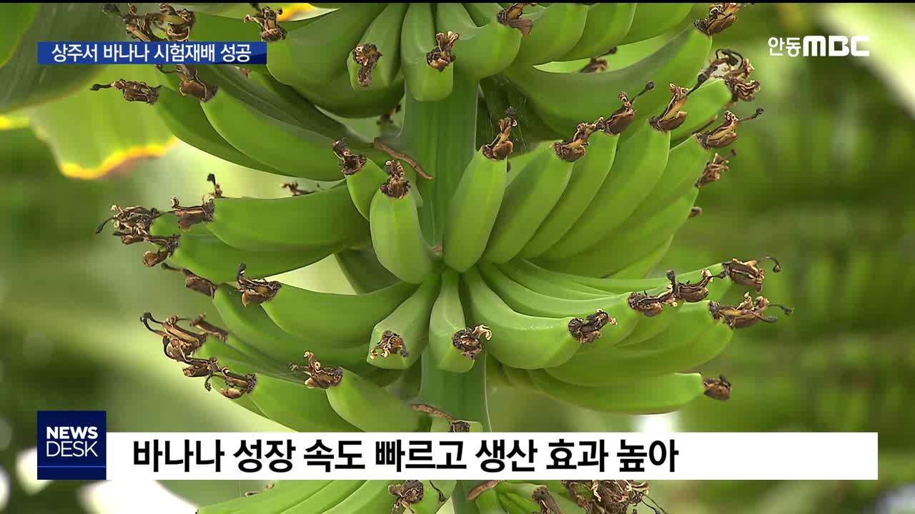 R)열대 과일 '바나나'..상주서 시험 재배 성공