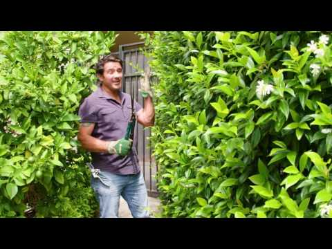 THRIFTY LINK Pruning | The Home Team S3 E50