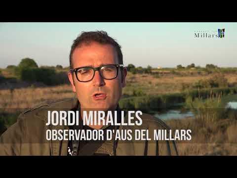 Les aus de la desembocadura del Millars
