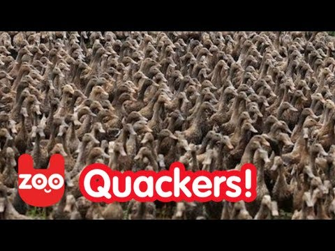 5000 ducks go for a walk
