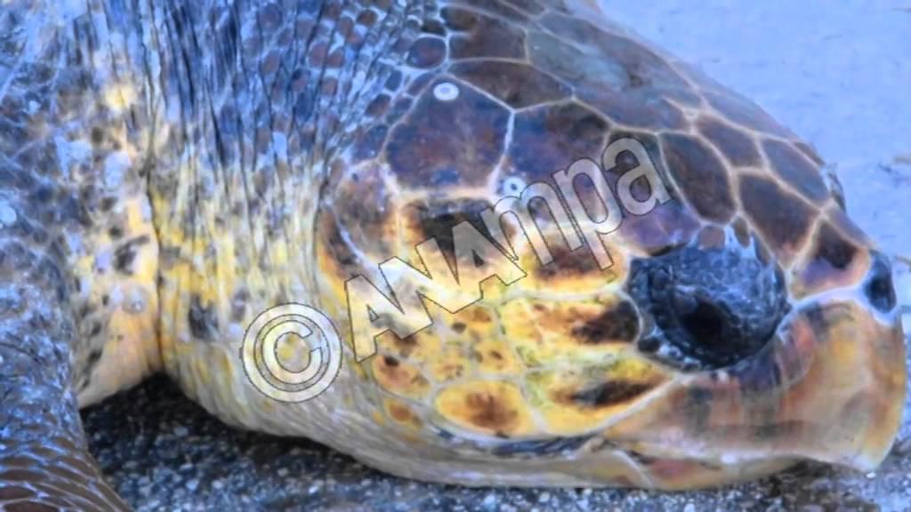 Διάσωση τραυματισμένης χελώνας Careta Careta στο Ναύπλιο