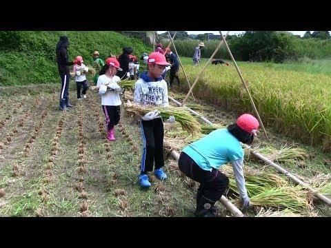 種子島の学校活動:国上小学校もち米稲刈り体験活動2017年