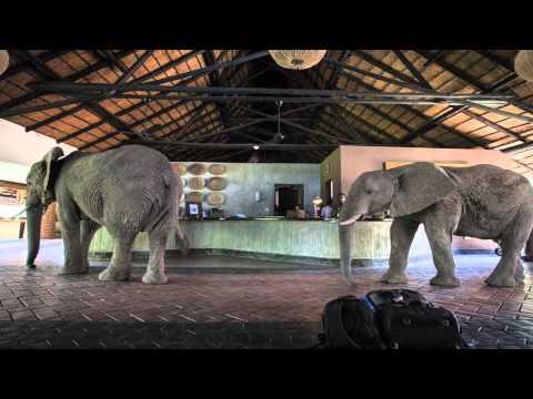 un  branco di elefanti entra nel resort e stupisce gli ospiti
