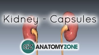 Capsules Of The Kidney - Anatomy Tutorial
