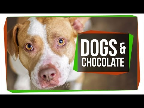 Why Can  t Dogs Eat Chocolate