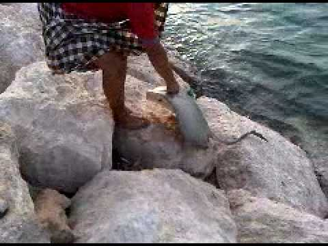 StingRay fishing صيد اللخمه