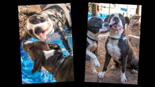 UTAH - Boxer / Bulldog / Mixed (short coat) Dog For Adoption