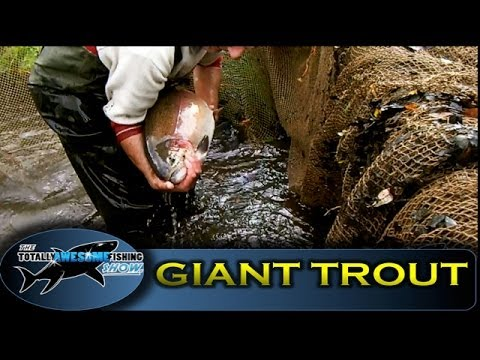 rainbowtrout - An insight into the fishery that produces Britains biggest Rainbow Trout. Sutton Springs in Hampshire is renown for producing big fish for the discerning fly...