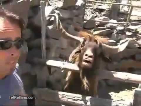 Interjú egy kecskével