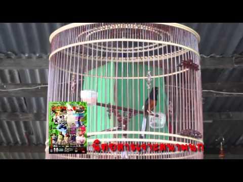 เจาะสนามนก - รายการเจาะสนามนก ออนทีวี ตอน บังซิด กับ นกดูดี (ตอน1) ออกอากาศทางจานดำ ช่อง Herbs TV ( PSI ช่อง 133)...