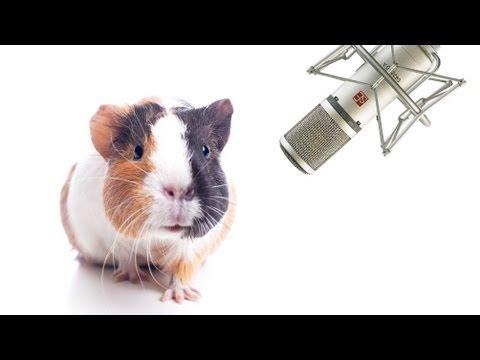 Pet Interviews - Guinea Pig