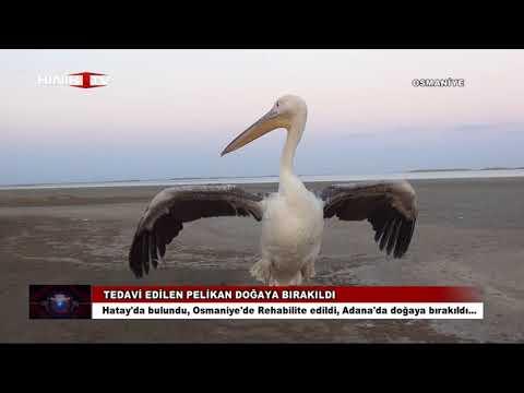 Yaralı Pelikan Tedavi Edilip Doğaya Bırakıldı