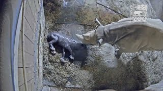 Surveillance video has captured the moment Kendi, a baby eastern black rhino, was born at Cincinnati Zoo and Botanical Gardens in the US state of Ohio. Report by Nikhita Chulani.