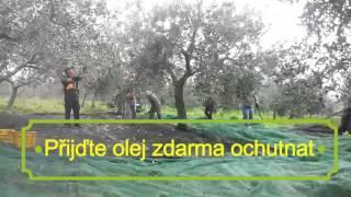 Sklizeň oliv, ze kterých se vyrábí Bio Olivový olej