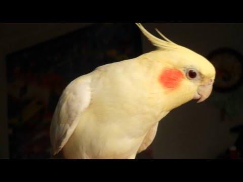 popugay-korella-razgovarivaet-video