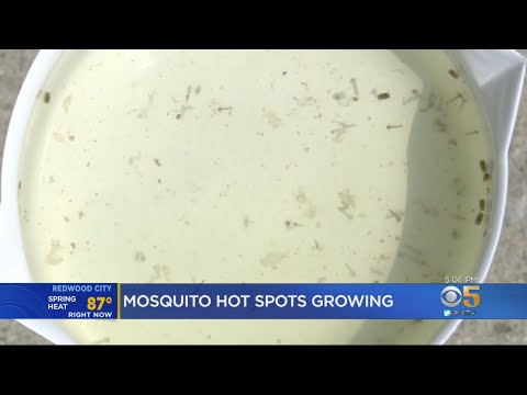 Wet Winter Set Stage For Spike In Bay Area Mosquito Population