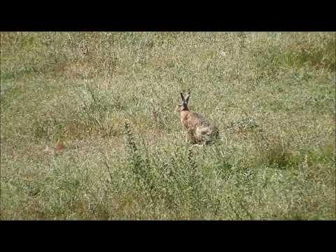 Yabani Tavşan