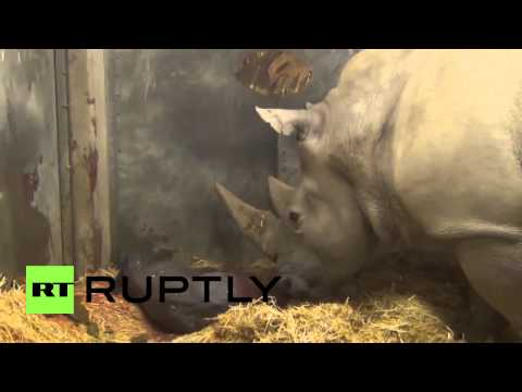 Zoo Denmark - The long awaited birth of a baby rhinoceros took place at Copenhagen Zoo, on Monday. The baby rhino bull, weighing 50kg (110 pounds) is the first rhinoceros to be born at the zoo in 35 years....