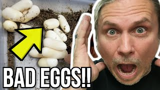 TERRIBLE SNAKE EGG CLUTCH!! ALL BAD EGGS!! | BRIAN BARCZYK by Brian Barczyk