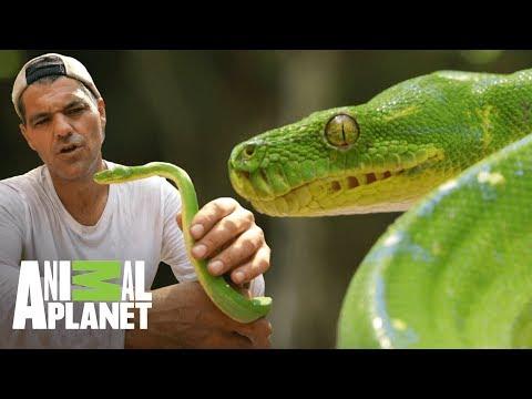 Pitón verde tiene receptores infrarrojos  Wild Frank: En busca del dragón  Animal Planet