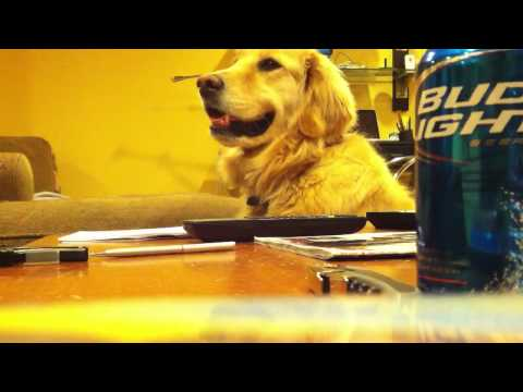 golden retreiver - Jammin' with my buddy's pup!! Enjoy, Like Share :) Visit my website: http://www.drewarcoleo.com Facebook: https://www.facebook.com/DrewArcoleoMusic Twitter: ...
