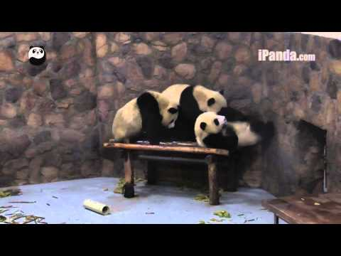 lazy panda - These lazy panda cubs refuse to get up in the morning....
