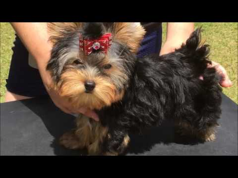 ABBY yorkie Excellent Pedigree