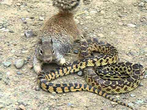 Bull Snake Against Squirrel - Unbelievable Fight!