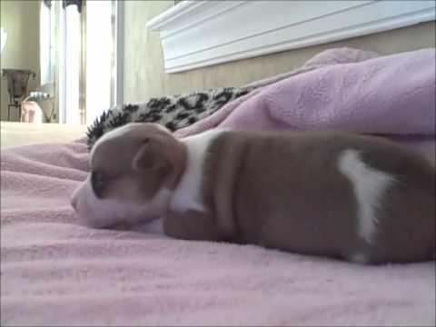 chihuahua puppys frist bark