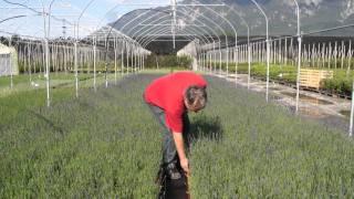 #408 Lavendel Hidcote Blue - In der Provence zu Hause