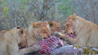 African Wildlife - Kruger Park - South Africa