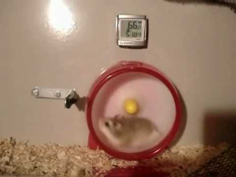 Hamster Misses Shift