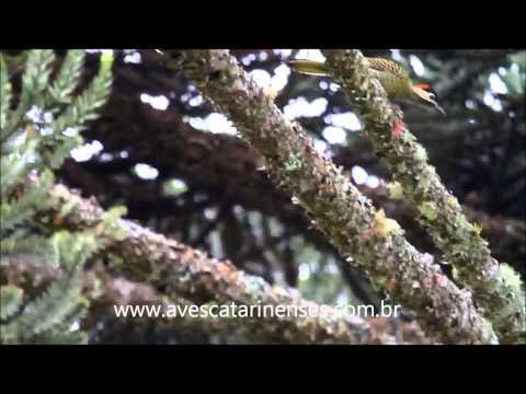 Pica-pau-verde-barrado - Cristiano Voitina